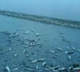Установлена причина гибели рыбы в Волге