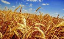 В Вольском районе продолжается уборка урожая