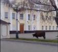 По центру Вольска прошлось стадо коров