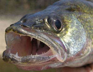 walleye-face-photo
